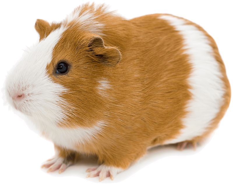 bigstock-red-and-white-guinea-pig-isola-92696420